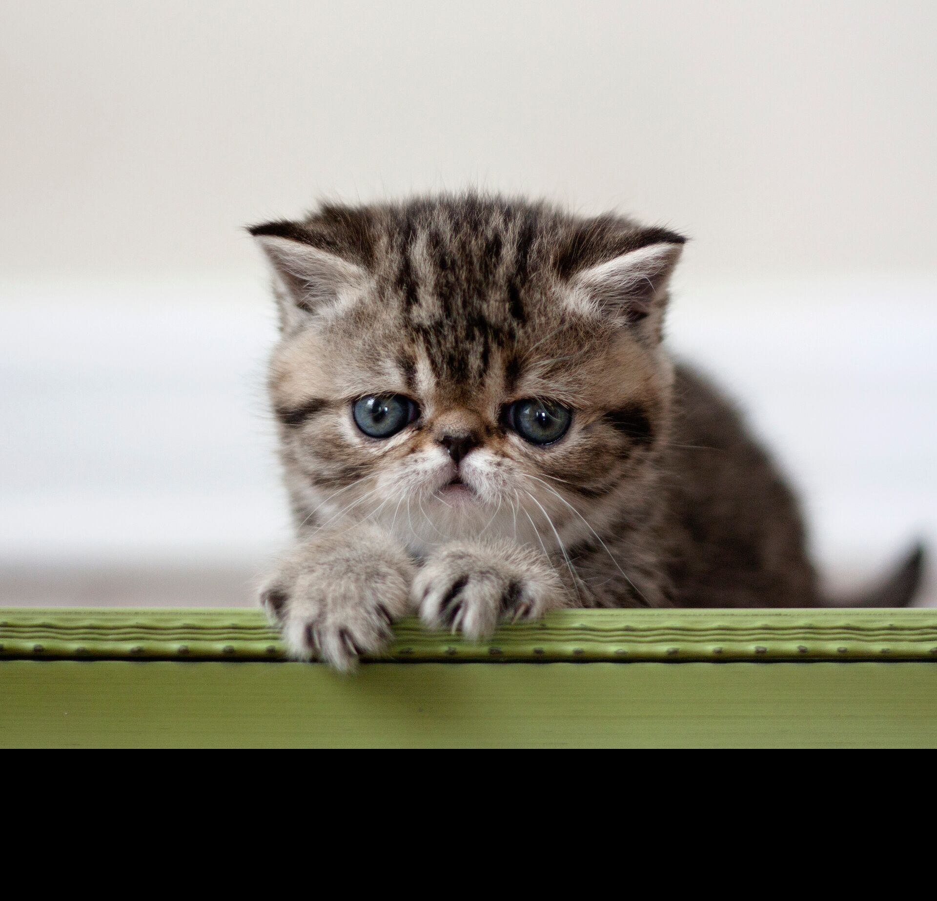 About us at Camden Shorthair Cattery - Camden Exotic Shorthairs